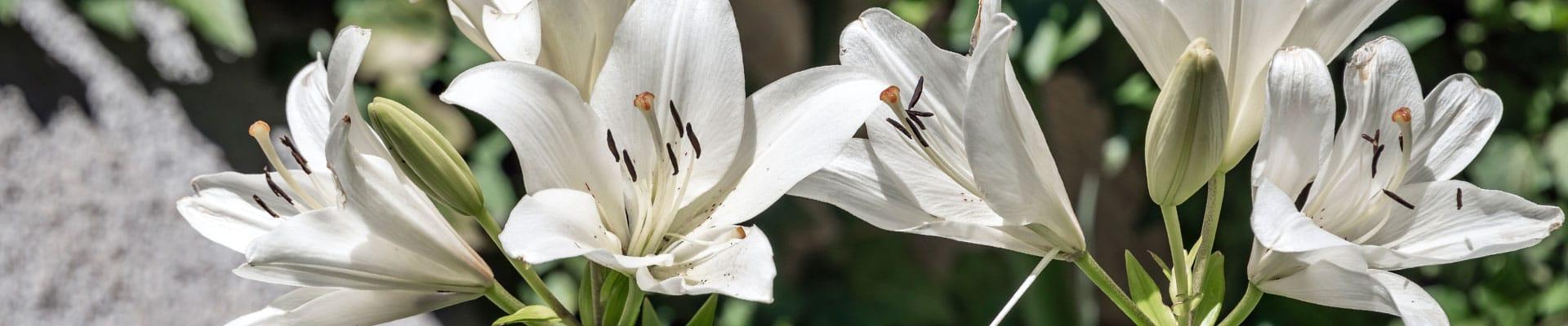 White Lily -header